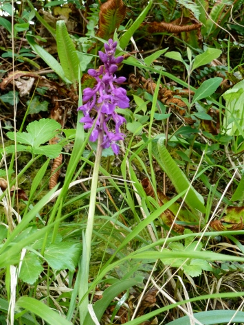 Early purple orchid. Seen on the bank under the hedgerow near Tegfan.