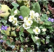 Primroses and violets at Castell Henllys