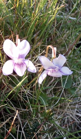 (Rare) Viola Lactea or a hybrid on Garnwen