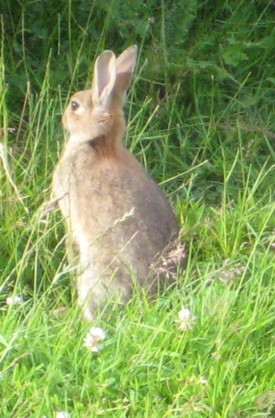 Rabbit on Dinas Island near Pwllgwaelod