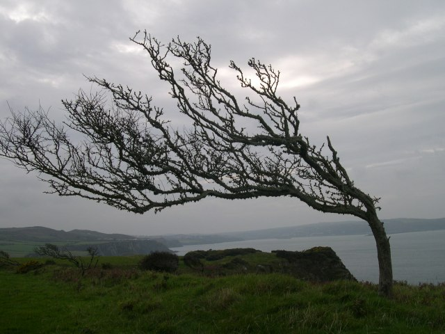 Windblown hawthorn on the Pembrokeshire coast path