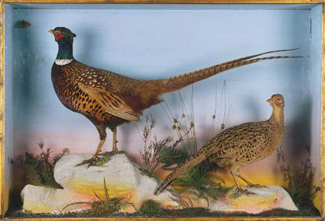 stuffed pheasants in a case