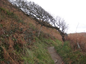 4. Windblown Hawthorn tree