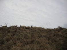 7. The sheep were curious.