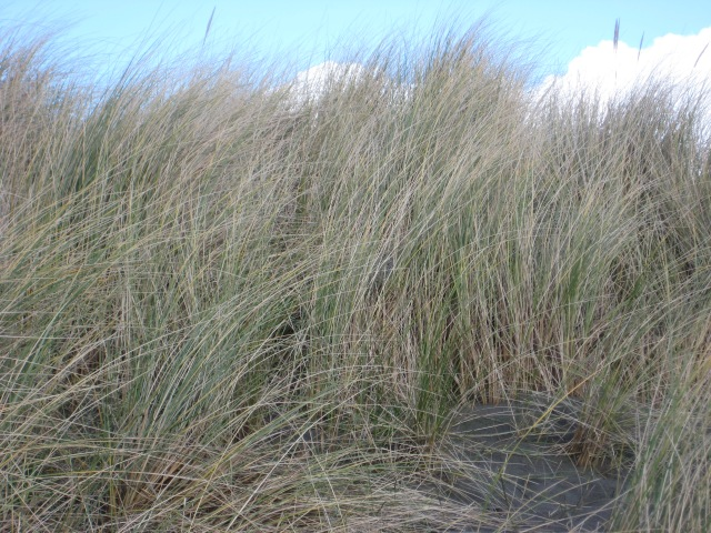 Marram Grass at Newport Sands