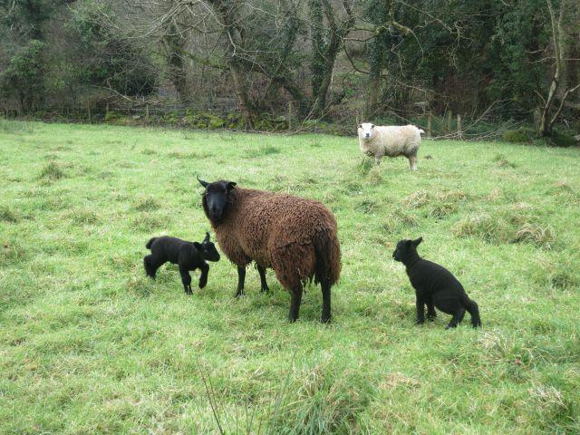 Lambs at Melin Tregwynt