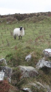 Sheep in the Preselis