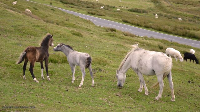 (Semi) wild horses on the Preselis near Dinas
