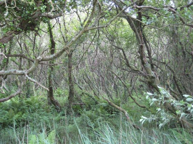 The wild wood between Pwllgwaelod and Cwm yr Eglwys