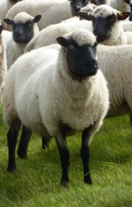 Llanwenog sheep