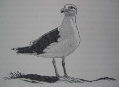 Great black-backed gull by Robert Gillmor