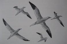 Gannets by Roger Gillmor