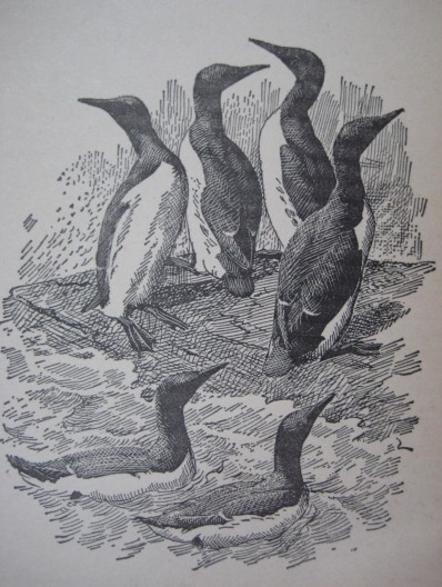 Guillemots by Charles Tunnicliffe