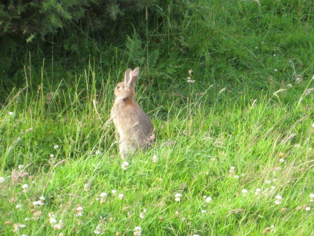 Rabbit in clover on Dinas Island