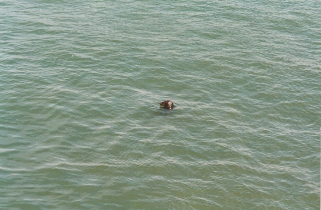 Seal in the sea - Dinas