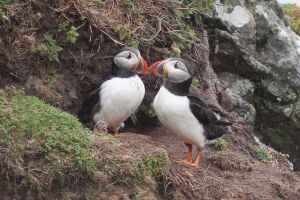 A pair of puffins outside their burrow on Skomer Island, Pembrokeshire