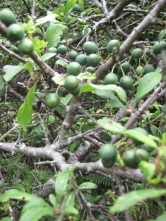 Sloes at Yet-yr-Esgyrn (Dinas)