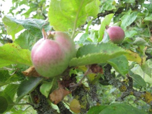Crab apples at Cilwenen (Dinas)