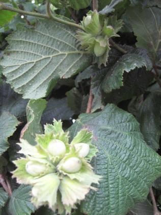 Hazelnuts at Newport