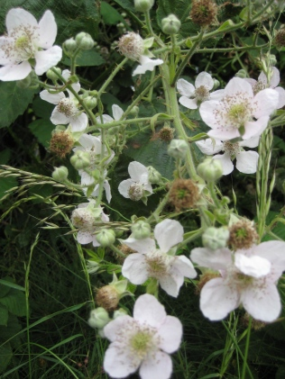 Blackberry flowers at Cilwenen (Dinas)