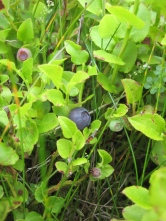Bilberries at Rosebush