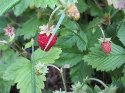 Strawberries at Bwlch Mawr (Dinas)